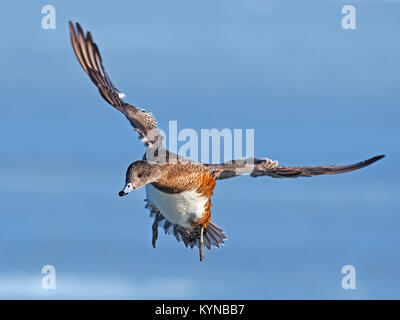 Female American Wigeon Duck in Flight - Stock Image