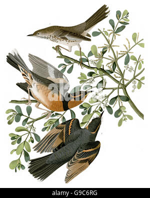1 Varied Thrush, Zoothera naevia, 2 Sage Thrasher, Oreoscoptes montanus, birds, 1827 - 1838 - Stock Image