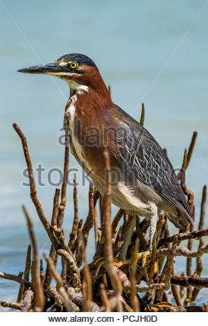 green heron - Butorides virescens - Stock Image