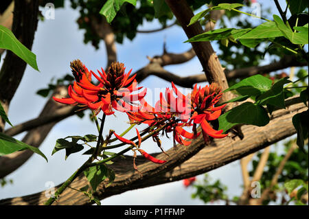 Coral Tree Blooms, Erythrina corallodendron,  Coral Tree, Mission Viejo, CA 080329_30038 - Stock Image