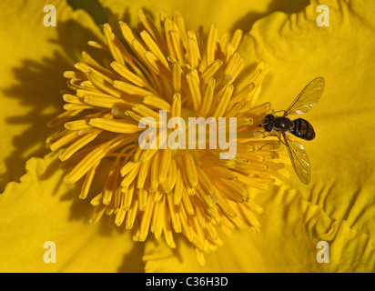 Tiny yellow flower with busy bee. - Stock Image