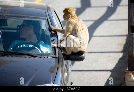 Gibraltar Ape sitting on a car wing mirror, Gibraltar, Europe - Stock Image