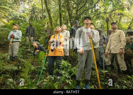 tourists on safari watching mountain gorillas, waiting for them to descend from tall trees, Bwindi Impenetrable Forest, Uganda, Africa - Stock Image