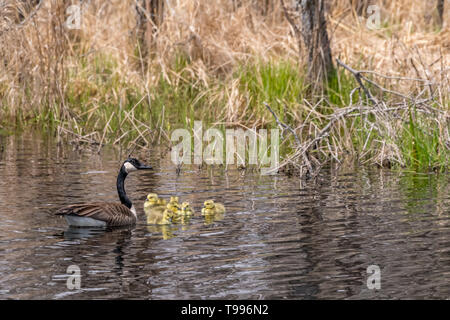 Canada Geese (Branta canadensis) adult and five goslings (chicks) swimming. - Stock Image