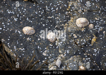 Common Limpets on a small slipway Loch Broom near Ullapool Wester Ross Scotland - Stock Image