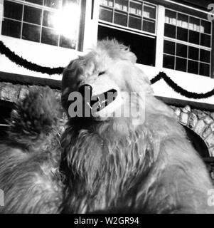Eva Braun Collection - (album 1) -  Man dressed in a bear costume ca. 1930s - Stock Image