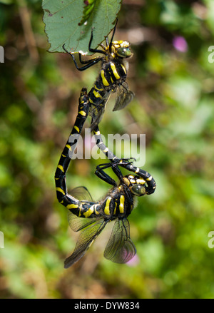 Two dragonflies mating - Stock Image