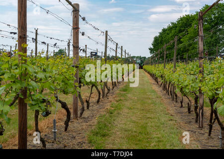 Dutch winery and vineyard in North Brabant, Netherlands, rows on growing grape plants - Stock Image