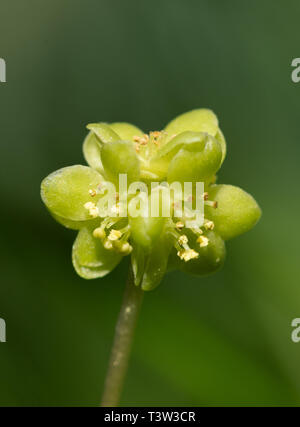 Close-up of a moschatel spring flowering wildflower, also called town hall clock (Adoxa moschatellina) - Stock Image