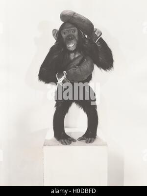 Portrait of monkey wearing boxing gloves - Stock Image