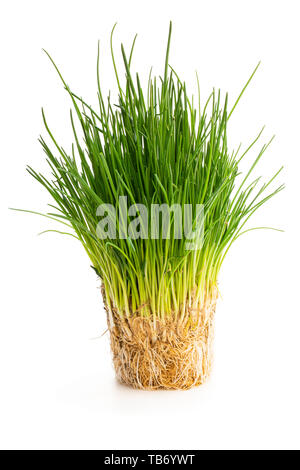 Chives  plant with roots isolated on white - Stock Image