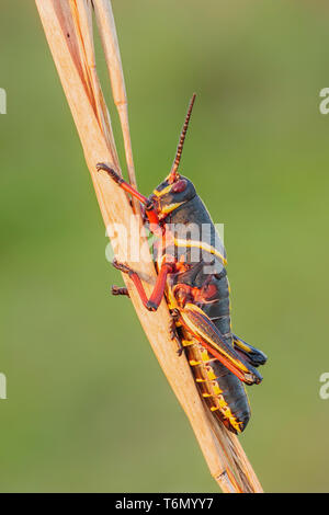 An Eastern Lubber Grasshopper (Romalea microptera) nymph (late instar) perches on a vegetation. - Stock Image