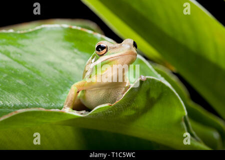 Green Tree Frog sitting on a plant leaf - Stock Image