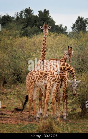 Three Wild Masai Giraffes,  Giraffa camelopardalis, Masai Mara National Reserve, Kenya, East Africa - Stock Image