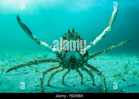 Spider crab in fighting pose, Inishmore, Aran Islands, Ireland - Stock Image