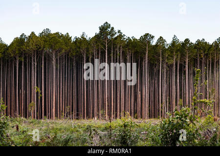 Tree clearing in Australia. - Stock Image