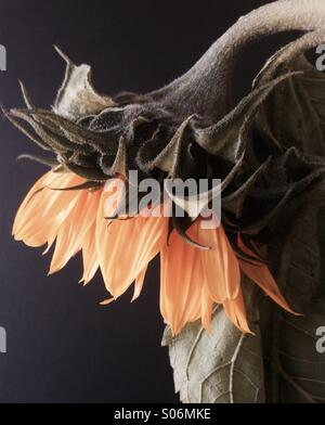 Faded Sunflower - Stock Image