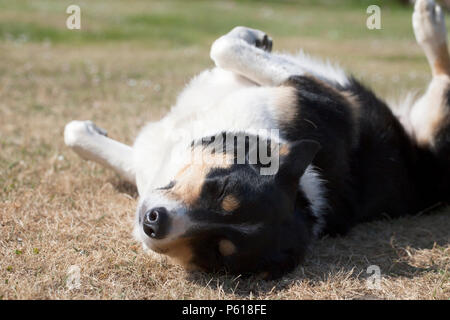 Hindhead, UK. 28th June, 2018. UK Weather:  Cassie the collie soaks up the sun on the parched lawn as the hot weather continues in the South. Credit: Susan Norwood/ Alamy Live News - Stock Image