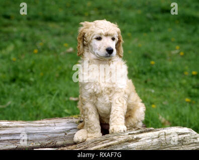 Standard Poodle Puppy sitting on log facing off to the side. - Stock Image