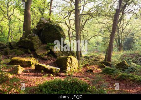 Dewerstone wood at Shaugh Prior Dartmoor National Park Devon Uk - Stock Image