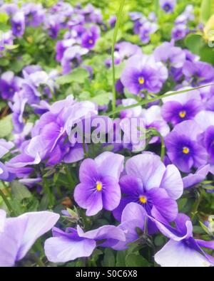 A field of violets with green leaves in Spring. - Stock Image