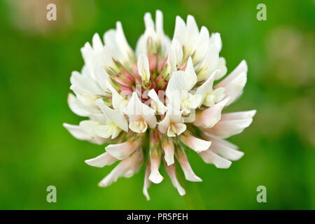 White Clover (trifolium repens), also known as Dutch Clover, close up of a single flower head with low depth of field. - Stock Image