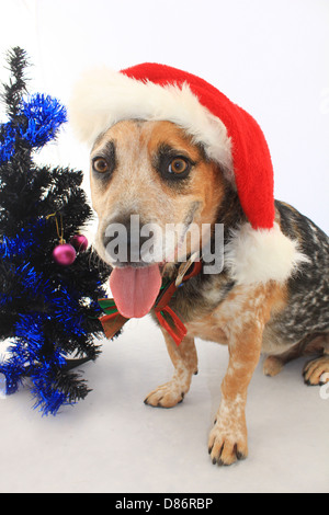 AN AUSTRALIAN  RED BLUE CATTLE DOG WRAPPED IN TINSEL NEXT TO A CHRISTMAS TREE WHITE CUTOUT BACKGROUND VERTICAL BDA - Stock Image