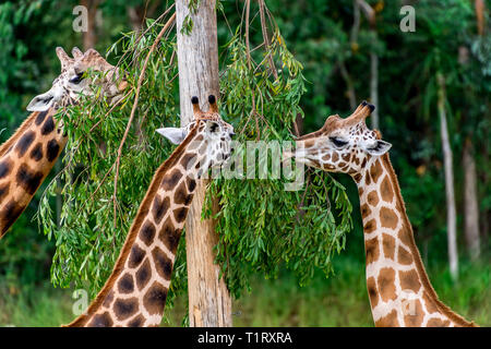 A herd of giraffes. These giraffes are of the subspecies known as the Rothschild's giraffe. - Stock Image