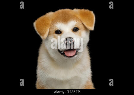Portrait of Little Akita Inu Puppy with Spotted nose on Isolated Black Background, front view - Stock Image