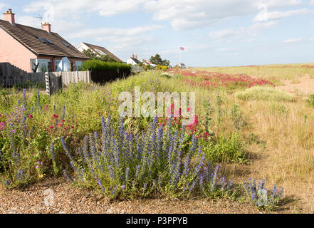 Valerian, Valeriana officinalis, and Viper's bugloss, echium vulgare, flowering at Shingle Street, Hollesley, Suffolk, England, UK - Stock Image