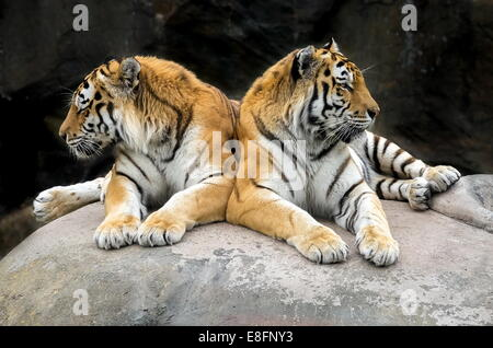 Two Tigers - Stock Image