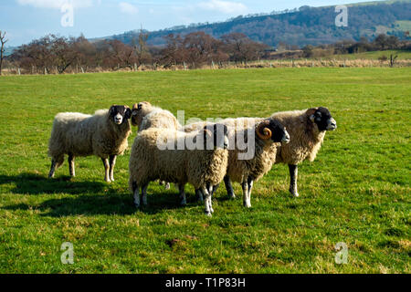 A group of Swaledale Rams, recuperating after the end of the breeding season - Stock Image