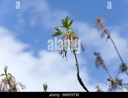 Box Elder or Boxelder tree, Acer negundo male flower - Stock Image