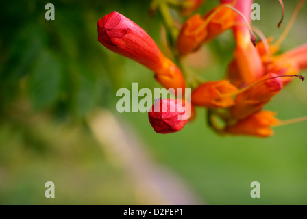 Unopened Trumpet Vine / Trumpet Creeper Flower Buds - Campsis radicans (Bignoniaceae). Also known as Cow Itch Vine. - Stock Image