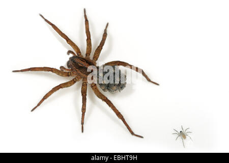 A female wolf spider (Trochosa ruricola) carrying her spiderlings on the back. One of the spiderlings has lost its - Stock Image