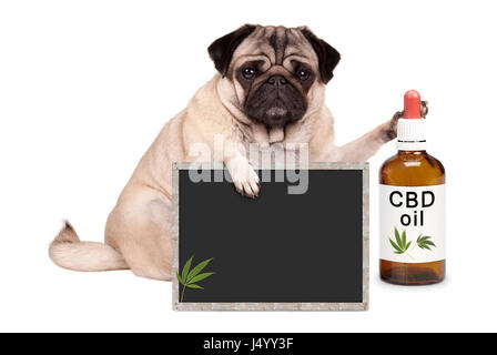 lovely cute pug puppy dog sitting down with bottle of CBD oil and blackboard sign, isolated on white background - Stock Image
