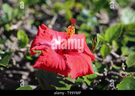 Red hibiscus flower in a closeup photo taken with a macro lens. In this photo you can see bright red hibiscus blooming with a soft green background. - Stock Image