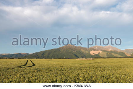 Farm field at early morning, Canterbury, New Zealand - Stock Image