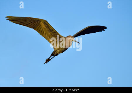 Little blue heron in flight at dawn searching for breakfast - Stock Image