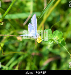 North Downs, Surrey. 8th Jun, 2018. UK Weather: Butterflies on the North Downs, Surrey. A Common Blue Butterfly Polyommatus icarus feeds on Vetch flowers  in a meadow on the North Downs at Colley Hill, Reigate, Surrey. Photo ©Lindsay Constable / Alamy Live News - Stock Image