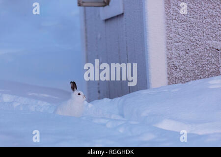 Mountain hare in winter season with white fur, sitting in the snow, gleaning in to the camera, Gällivare, Swedish Lapland, Sweden - Stock Image