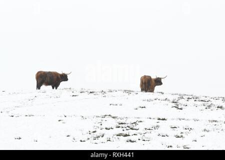 Port of Menteith, Stirlingshire, Scotland, UK. 10 March 2019. UK weather - highland cattle on a snowy day at Port of Menteith, Stirlingshire, Scotland. Credit: Kay Roxby/Alamy Live News - Stock Image