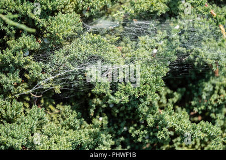 A low spreading Juniper shrub with seeds and a large spider web. Kansas, USA. - Stock Image