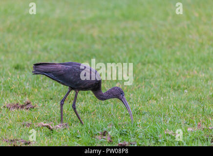 A Glossy Ibis, Plegadis falcinellus, probing for food among grass in North Ayrshire, Scotland, UK, where this species is a rare bird. - Stock Image