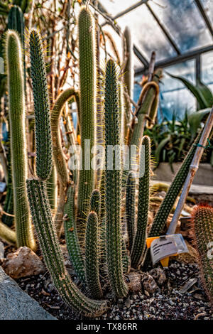 Italy Piedmont Turin Valentino botanical garden - cataceae - Cleistocatus Buchtieni Backeb. - Stock Image