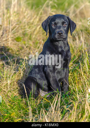 Young, ten week old, Black Labrador  puppy sat in agreass field on one of his first outings - Stock Image