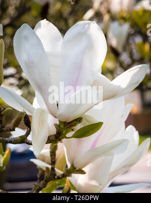Pink and white spring flowers of the magnolia tree. - Stock Image