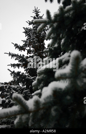 A couple of evergreens with snow on them create balance. - Stock Image