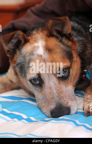 RED BLUE CATTLE DOG LAYING ON A BED CLOSE HEAD SHOT  VERTICAL - Stock Image