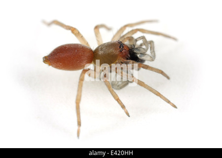 Northern sac spider (Clubiona trivialis), part of the family Clubionidae - Sac spiders. Isolated on white background. - Stock Image